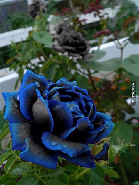 blue and black rose tattoo best 25 black roses ideas on black