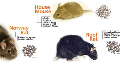 how to get rid of mice in backyard get rid of rats and mice