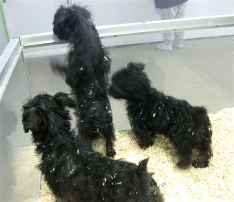 yorkie poo puppies in ohio meet yorkie poo puppies a petfinder adoptable terrier yorkie amelia oh