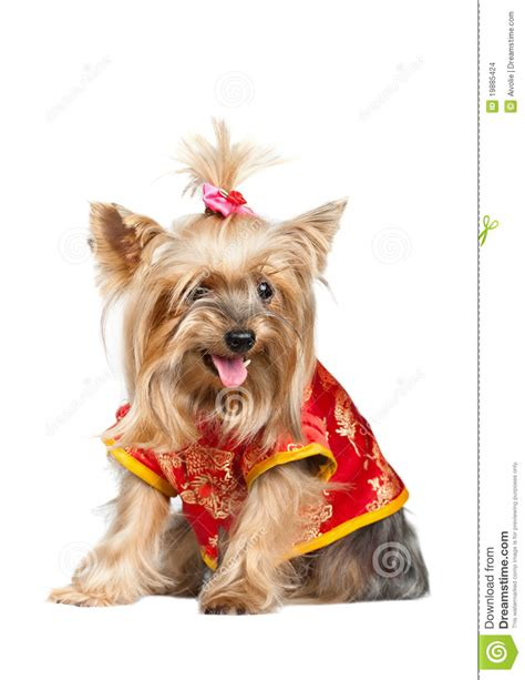 yorkie puppy clothes terrier in clothes stock images image 19885424