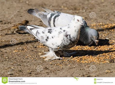 pigeons eat wheat stock photo image 59829724