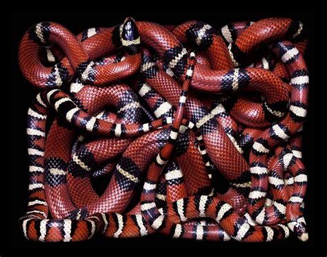 color pattern of coral snake slithery snake art 171 twistedsifter