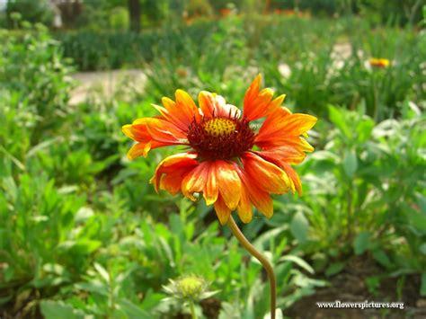 flowers bloom picture blanket flower in full bloom