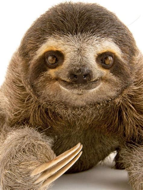 pin  angie clatterbuck  sloth sloth baby cute sloth pictures cute baby sloths cute sloth