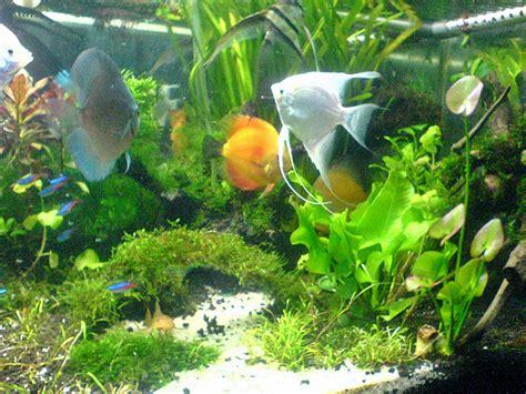Pakan Ikan Sepat Hias akuarium ikan hias newhairstylesformen2014
