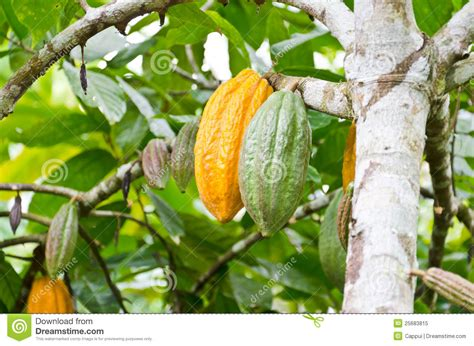 cocoa tree fruit cocoa fruit in the tree royalty free stock photo image