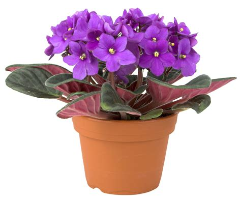 fun flower facts african violet grower direct fresh cut