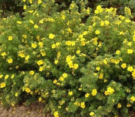 arbusti con fiori cespuglio con fiori gialli gpsreviewspot