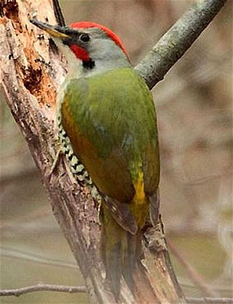 green woodpeckers green and red ground forager animal