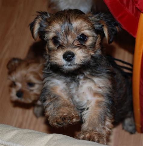 when do yorkies start barking my obsession shorkie puppies and i don t even like small dogs p u p p y