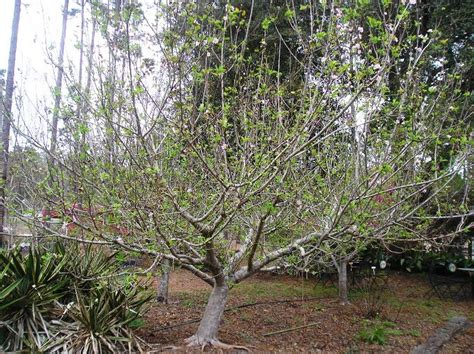 pruning fruit trees pruning fruit trees just fruits and exotics