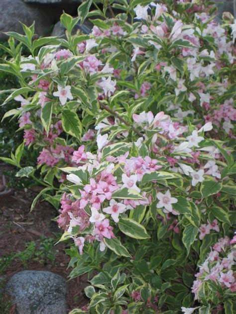 weigela with variegated leaves and pink flowers - Variegated Shrub With Pink Flowers