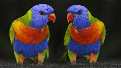colorful parrot wallpaper colorful bird images parrots wallpaper