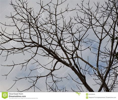 Trees That Shed Leaves by Kapok Tree Shed Leaves In Park Stock Photo Image 62424544