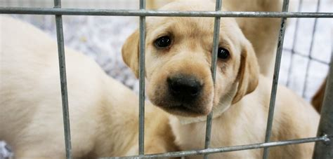 puppy mills in ga canton unanimously rejects puppy mills aspca