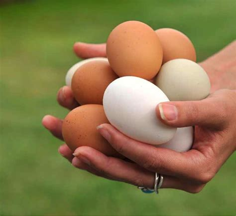 The Chicken Keeper S Problem Solver troubleshooting common egg production problems quarto homes