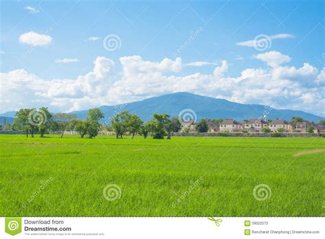 rice field green grass blue sky landscape stock photo