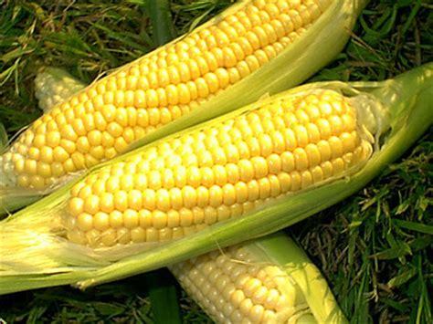 gambar tanaman jagung