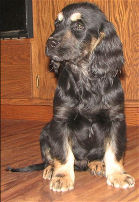 forever golden retriever puppy golden cocker retriever the quot forever quot puppy