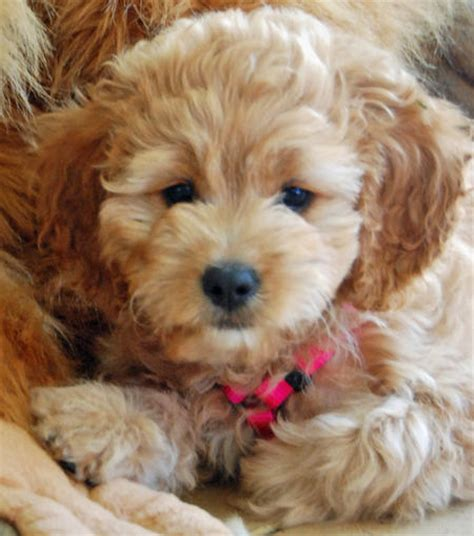 havanese poodle mix shih tzu havanese mix dogs breeds picture
