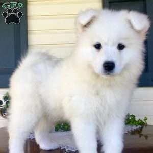 Samoyed Puppies For Sale In De Md Ny Nj Philly Dc And Baltimore