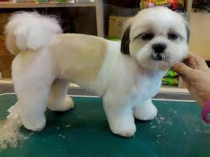 shih tzu haircuts teddy grooming teddy cut photo