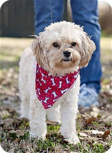 rescue dogs ri 51 best ideas about adoptable dogs on adoption poodles and miniature