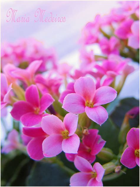 Vs Pink Flower 325 144 kb jpeg free 4 android plants vs zombies v1 0 plants in nanopics