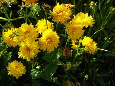 yellow flower perennial flowers ideas for review