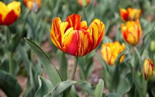 tulip pictures tulip flower pictures