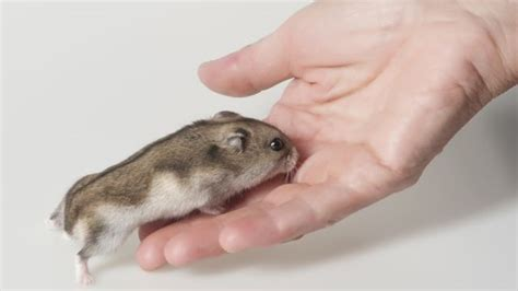 how to avoid being bitten by your hamster celia haddon