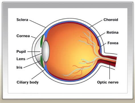schematic section of the human eye human eye diagram diagram site