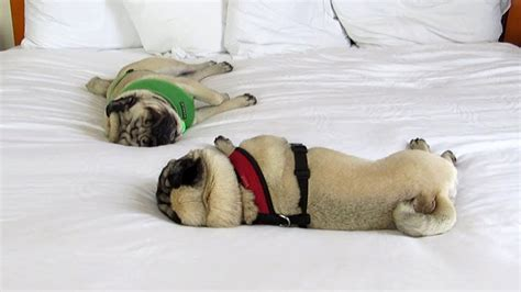 bed pugs spoiled pugs sleeping on a hotel bed youtube