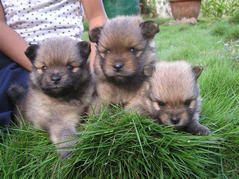 pomeranian puppy philippines pomeranian puppies for sale adoption from misamis cagayan de oro city