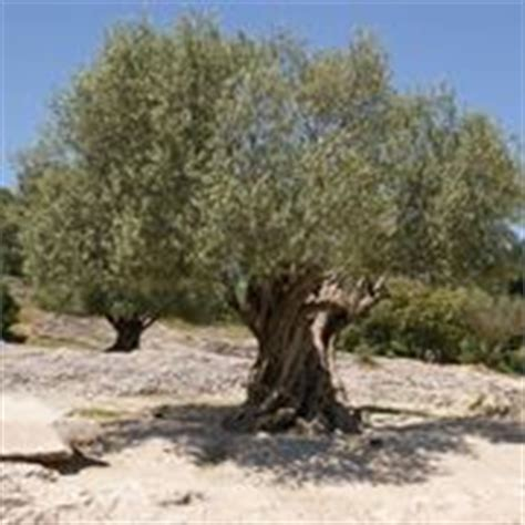 ulivi da giardino ulivo in inverno piante da giardino come coltivare l