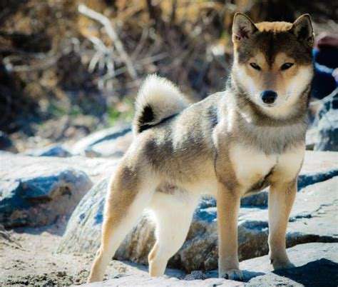 akita colors what colors are shiba inu dogs