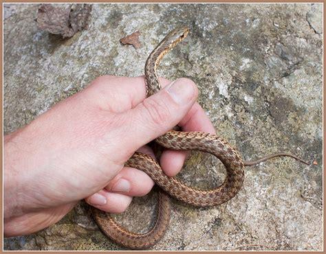 Garden Snake Brown Quot Brown Quot Garter Snake Flickr Photo