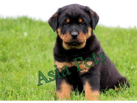 pug price in jaipur rottweiler puppies price in jaipur rottweiler puppies for sale in jaipur rottweiler
