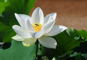 Lotus Flower White White Lotus Flower