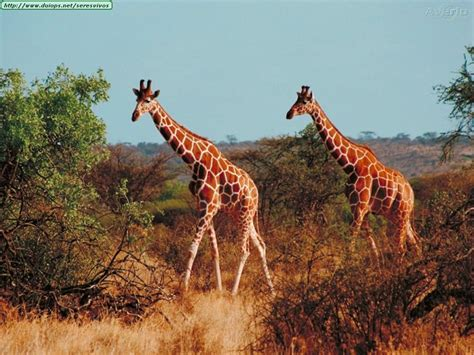 imagenes de jirafas navideñas fotos de jirafas