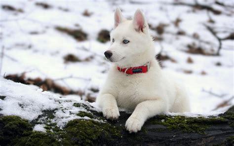 white husky puppy baby white husky wallpaper