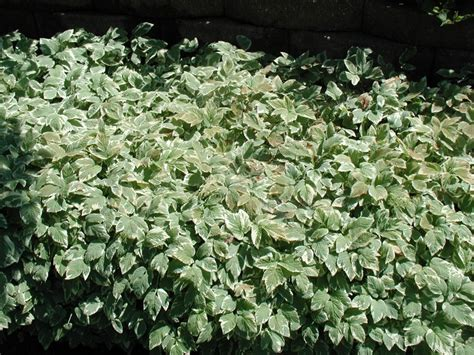 ground cover plants 28 images ground cover ground cover plants bbt com zone 5 ground