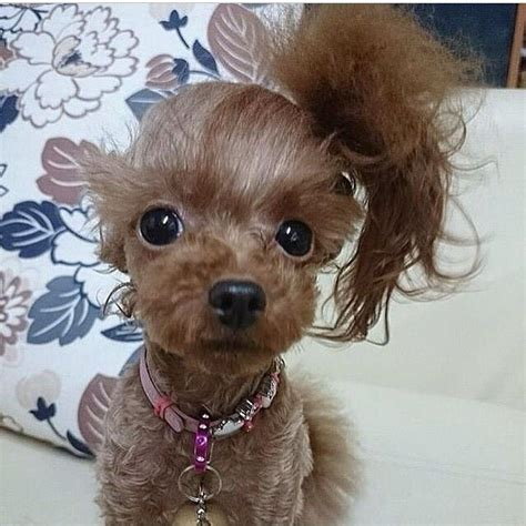 how to get a ponytail on a poodle cute dog with side ponytail too cute pinterest