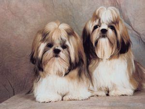 shih tzu tears how to clean tear marks from the of a maltese and a shih tzu pets