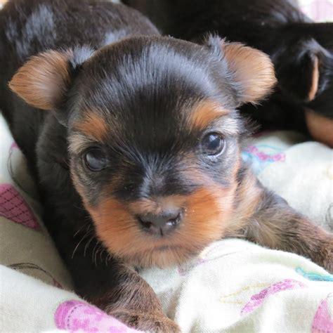 two week yorkie puppy yorkie puppy 3 weeks