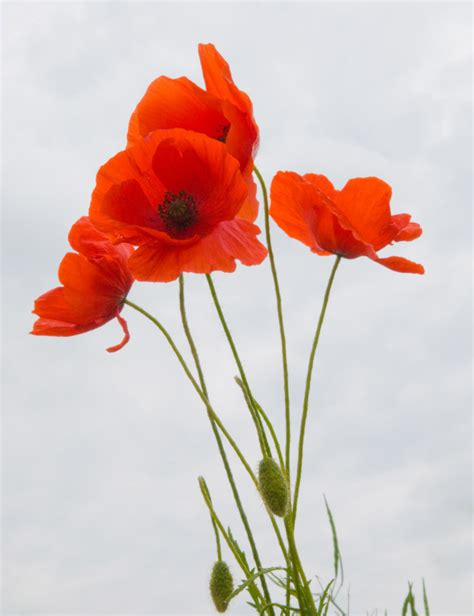 picturespool remembrance day poppy day greetings wishes