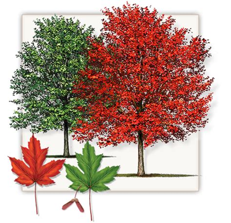 maple tree vs autumn blaze autumn blaze maple tree dallas fannin tree farm frisco tx
