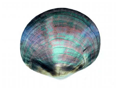 color shell the iridescence color of a polished shell of the mollusk