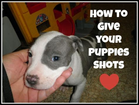when do you give puppies their how to do puppy vaccinations and give your puppies