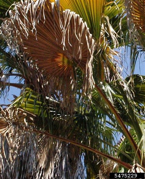 mexican fan palm care fusarium wilt of queen and mexican fan palms fusarium